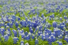 Bluebonnet Field I